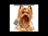 «Со стены йоркширские терьеры-супер собачки» под музыку Женя Отрадная - Я и мой пёс. Picrolla